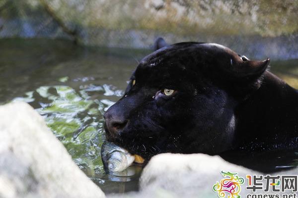 动物园内,泡在水里的黑豹享受着清凉