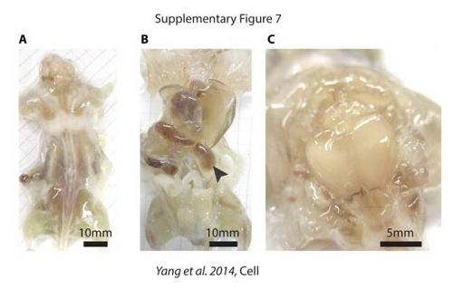 科学家为治疗癌症培育出世界首只透明老鼠