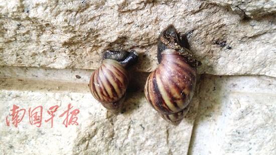 农户杀非洲大蜗牛有绝招 蜗牛遇盐软体部分化成水