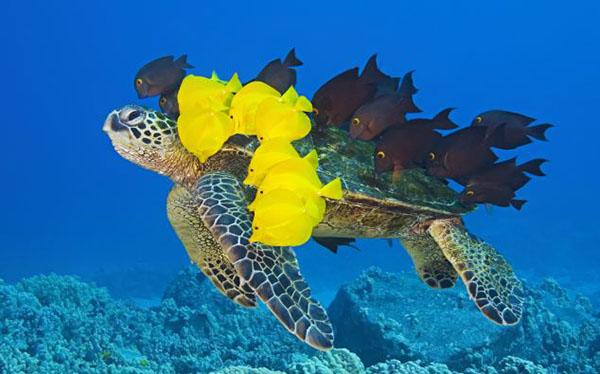 可爱的小鱼生活在夏威夷kona海滨水面以下约20米处,当地也是绿海龟的