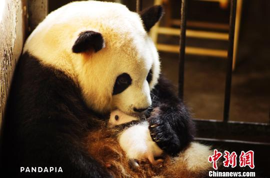 """""""大熊猫产仔及成长过程""""网上直播在成都启动"""