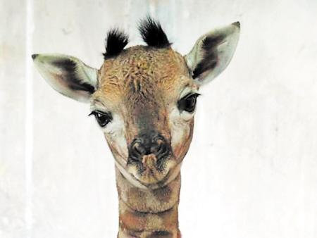 长沙生态动物园喜添雌雄两只长颈鹿宝宝