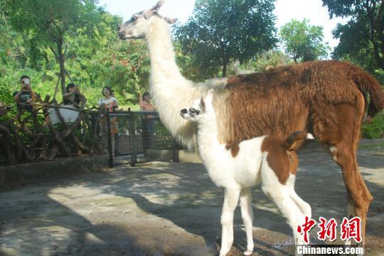 """深圳野生动物园诞生一只""""神兽""""萌宝"""