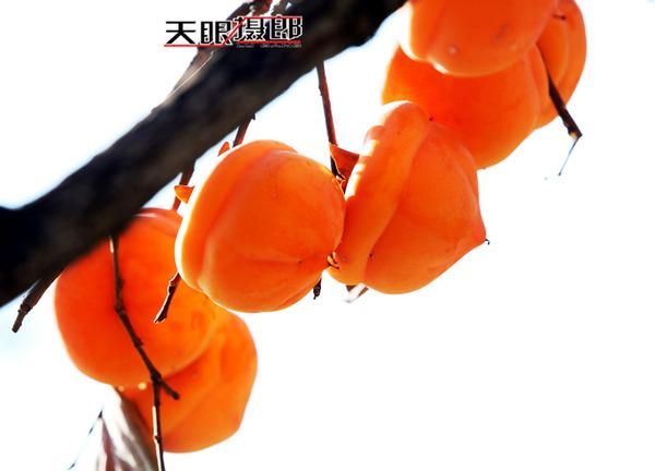 北京十三陵 金黄的柿子碧蓝的天 - 闲云野鹤 - 闲云野鹤的博客
