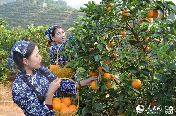 赣南脐橙园 客家妹子采橙忙