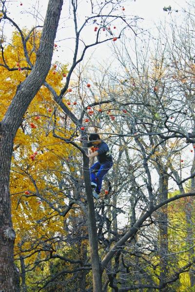 动物园里,一游客竟爬到树上摘柿子,嘴上叼着一杈柿子.罗时东摄