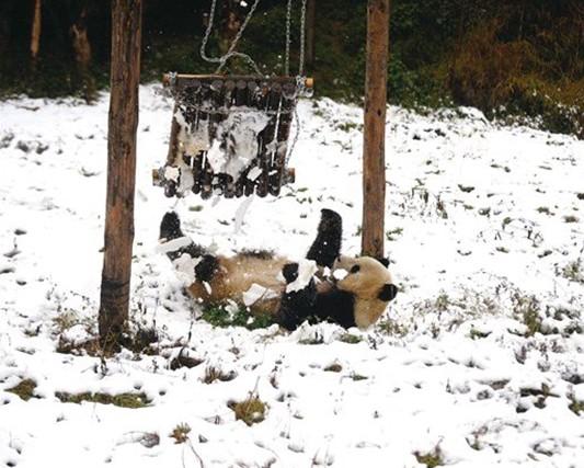 下雪天 云南野生动物园大熊猫出来卖个萌