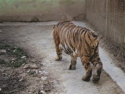 珍珠泉一只老虎竟没尾巴