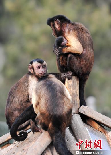 济南动物园黑帽卷尾猴喜添新丁