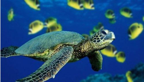 资料图片:绿海龟。