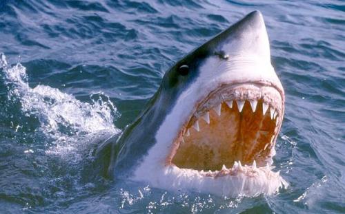 """资料图片:日前,一名男子遭大白鲨袭击,他急中生智""""手戳鱼眼""""最终幸运逃脱。"""
