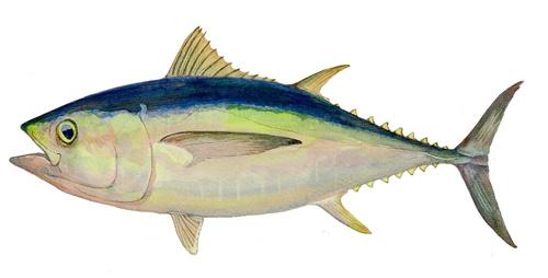 壁纸 动物 鱼 鱼类 500_254