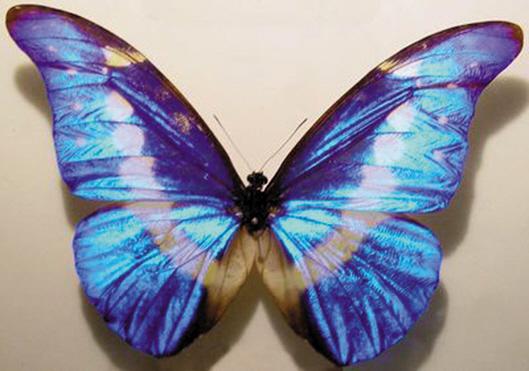 蝴蝶翅膀鳞片的颜色 秦彧 今年安徽的高考作文题是操作扫描式电子显微镜,观察蝴蝶的翅膀。通过这台可以看清纳米尺度物体三位结构的显微镜,同学们惊奇地发现原本色彩斑斓的蝴蝶翅膀竟然失去了色彩,显现出奇妙的凹凸不平的结构。原来,蝴蝶的翅膀本是无色的,只是因为具有特殊的微观结构,才会在光线的照射下呈现缤纷的色彩这段话本身很值得商榷其一,蝴蝶翅膀真的是无色的吗?其二,扫描式电子显微镜下到底能看到什么颜色? 蝴蝶翅膀的颜色:色素色和结构色 昆虫其实都具备极其丰富的体色,这些颜色的来源大致可以分为两大类