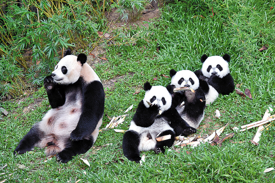 """长隆动物园的大熊猫妈妈""""菊笑""""诞下的三胞胎萌萌"""