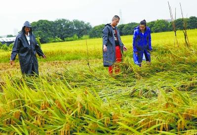 水稻初生结构示意图
