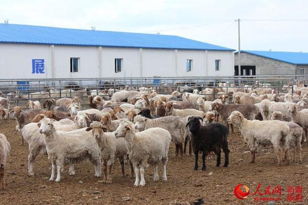 新疆兵团九师团结农场畜牧业品种改良纪实