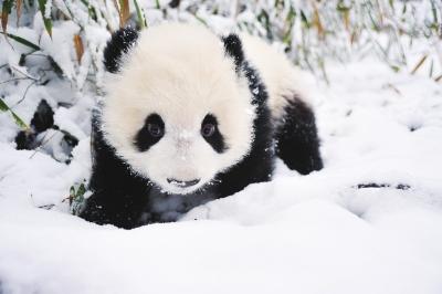 可爱大熊猫