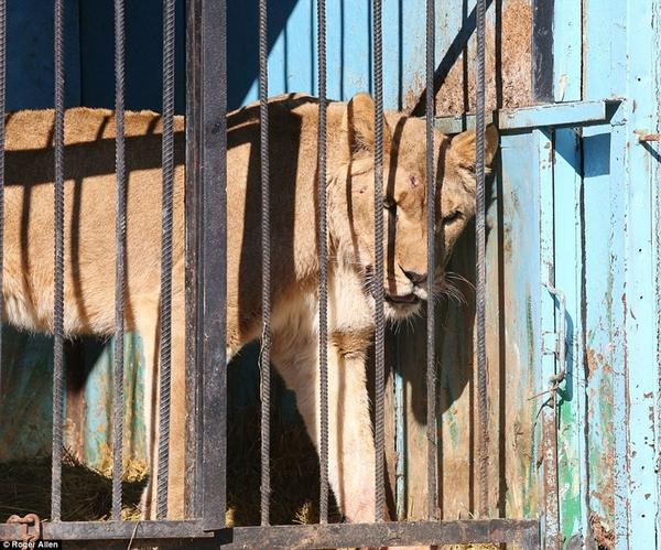 世界上最惨的动物园 7只动物靠屠宰场残渣维生