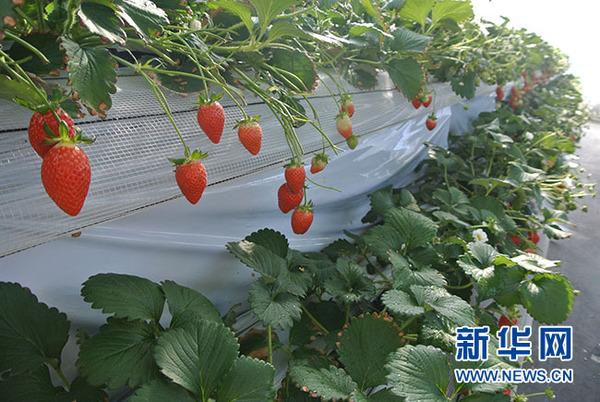 草莓采摘(方藝曉攝)