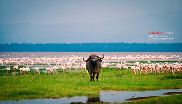 圆一个动物世界的梦(六)纳库鲁湖遭遇火烈鸟