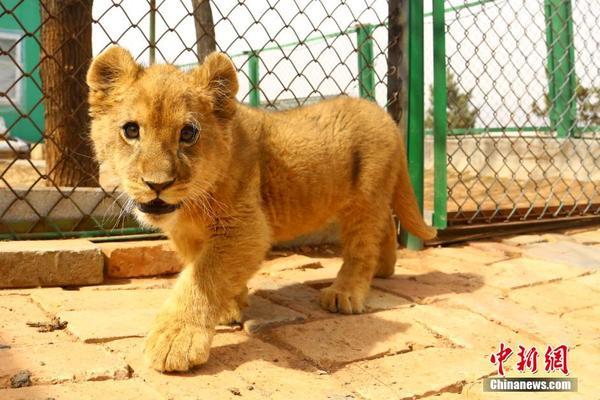 """> 正文   3月19日,青藏高原野生动物园里今年诞下的非洲狮宝宝""""美一"""""""