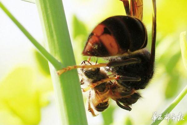 素描蜜蜂步骤图解