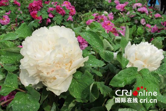 中国牡丹产地众多,其中洛阳牡丹冠绝海内