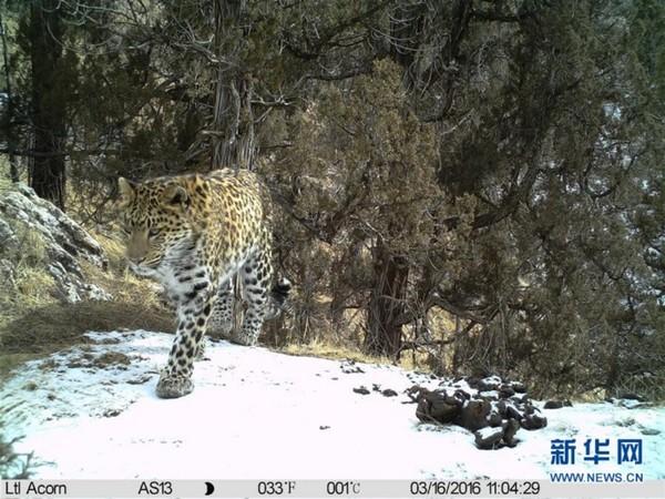 这是红外相机在三江源地区拍摄到的金钱豹(3月16日摄)。 我国科研人员近日在位于澜沧江源头的青海省玉树藏族自治州杂多县进行生物多样性本底调查时,拍到了雪豹求偶、交配的画面。长期在三江源地区进行实地调研的北京大学山水自然保护中心工作人员赵翔说,2015年11月,科研人员将数台红外相机架设在该县境内进行无人拍摄,在近日取回时发现了两只雪豹求偶、交配的画面,画面摄于今年1月29日。新华社发