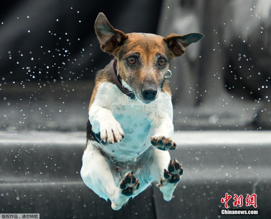 德国猫狗展举行 萌宠跳水可爱无比图片