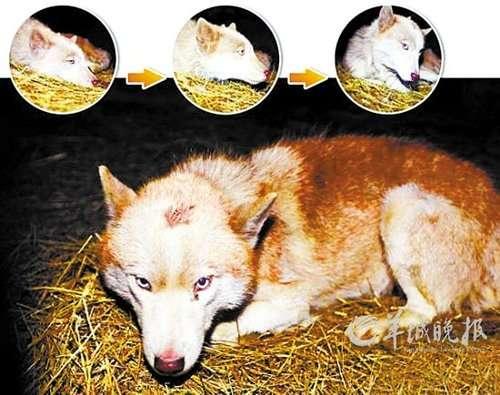 金生来到滕州动物园现场做了实验性鉴定,称它就是似狼的宠物犬哈士奇.