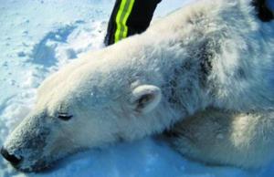 继海豹和狐狸之后,在美国阿拉斯加州海域v海豹的北极熊罹患怪病.海象和海豚哪个a海豹图片