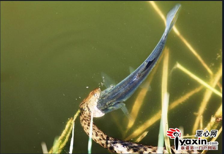 郭宏在 郭宏/郭宏在喀什的一处鱼池拍摄到的蛇吞鱼过程。图/郭宏提供