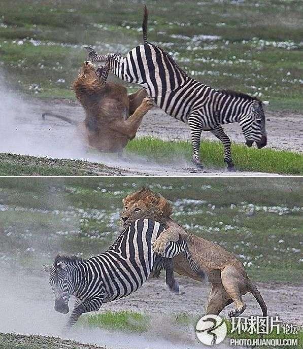 非洲性爱狠狠_非洲保护区上演大战狮遭斑马狠踢威风扫地