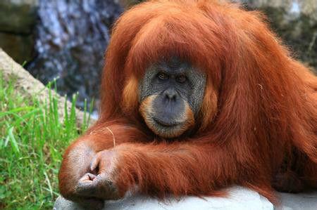两名印尼男子捕获红毛猩猩后吃掉遭逮捕