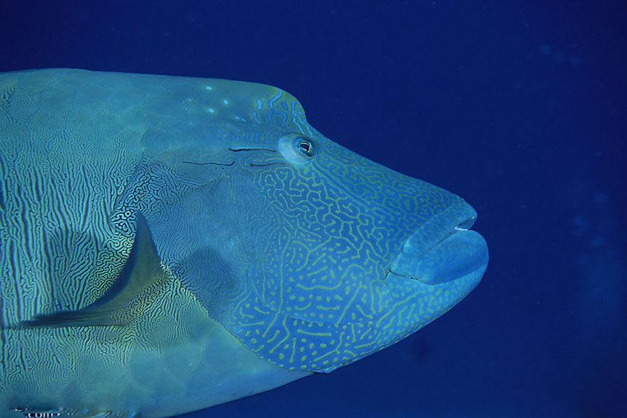 深海鱼类为适应环境,它的身体的生理机能已经发生了很大变化。这些变化反映在深海鱼的肌肉和骨骼上。由于深海环境的巨大水压作用,鱼的骨骼变得非常薄,而且容易弯曲,肌肉组织变得特别柔韧,纤维组织变得出奇的细密。