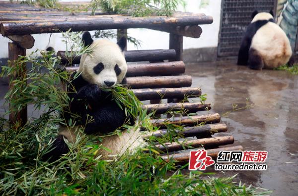 大熊猫在吃竹子 刘晓东摄