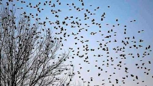 数百万只鸟聚集美国小镇遮光蔽日白昼如夜(图)
