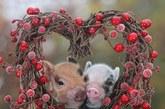 """谁说动物没有真爱?为了传递无法阻挡的绵绵爱意,它们会偎依在一起,彼此爱抚,或者干脆来个长吻。动物之爱不仅纯粹浪漫,更能温暖人心。为了迎接情人节,英国媒体2月13日特别刊登了一组主题为""""爱情之于小动物""""的图片集锦。看过这些照片,相信你我都会被它们之间的浓情蜜意打动!""""爱之花环""""下的小猪。"""