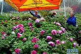 4月10日,在洛阳中国国花园内,花工们搬走遮盖牡丹花圃的帐篷。新华社记者 王颂 摄