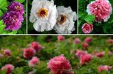 洛阳中国国花园内盛开的部分精品牡丹(4月10日摄,拼版照片)。新华社记者 王颂 摄