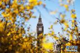 3月27日,在英国首都伦敦,大本钟掩映在春花中。 新华社记者殷刚摄