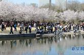 4月8日,游客在玉渊潭公园观赏盛开的早樱。本周末开始,北京玉渊潭公园的早樱进入最佳观赏期。放眼望去,花开似绯云绛雪,层层叠叠,美不胜收。据了解,玉渊潭公园樱花大体分为早樱和晚樱两大系列,因品种不同,次第开放可持续一个月。新华社记者李俊东摄