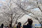 4月8日,游客在樱花林中游玩、拍照。新华社记者李俊东摄