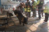 """据了解,这家养猪场出产的徒河黑笨猪肉一度卖到近百余元一斤的价格。养猪场负责人张训照介绍,""""为了保证猪肉的品质,养猪场里的徒河黑笨猪每天都要跳水、跨栏,这次的""""养猪旅游""""也是我们继续扩大知名度的一次尝试。"""""""