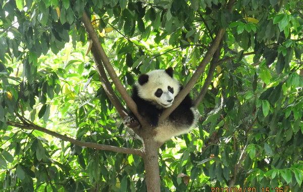 大熊猫主食的竹子等饲料以及供水得到基本保障