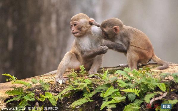美国两只小猴子打架被妈妈拧耳朵