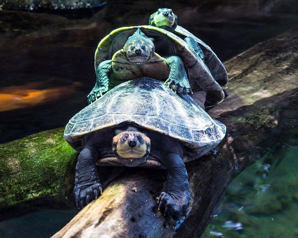 """乌龟""""叠罗汉""""过独木桥 - 海阔山遥 - ."""