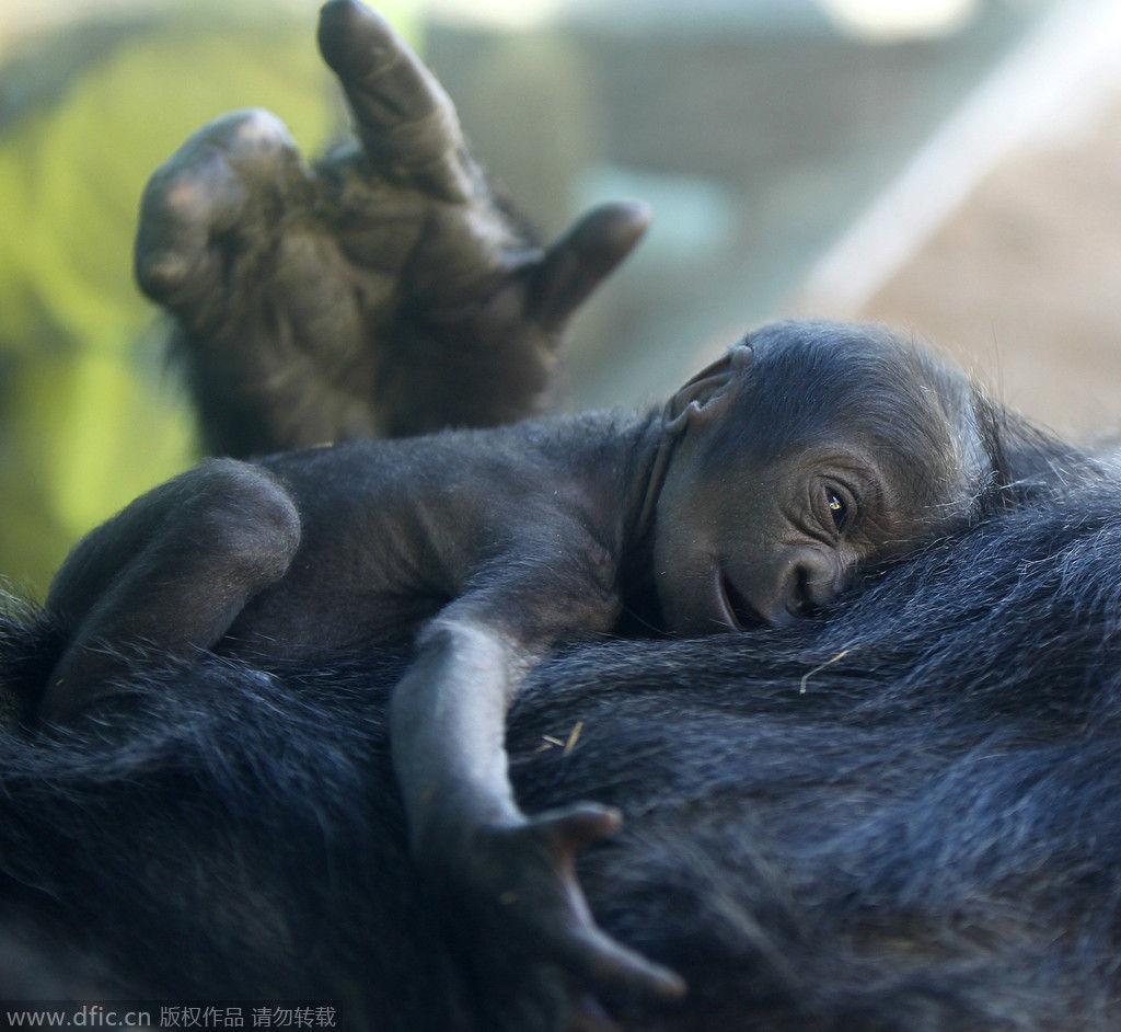 美国雄猩猩喜爱狮宝宝 义务当 保姆 工作超尽职