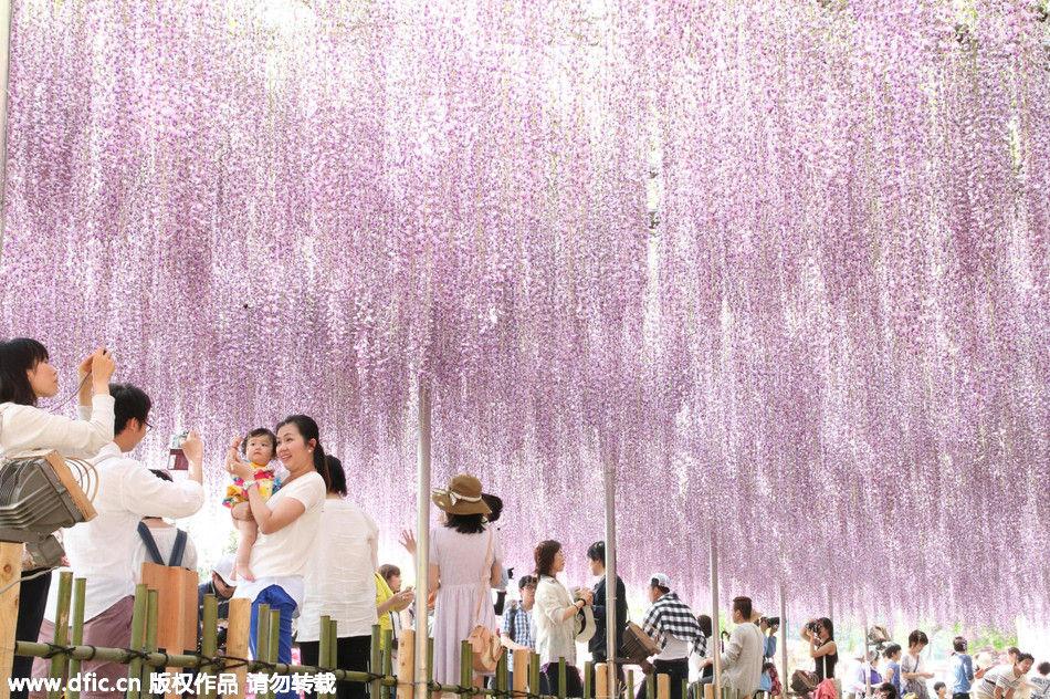 日本足利150岁紫藤树开花 美得令人屏息