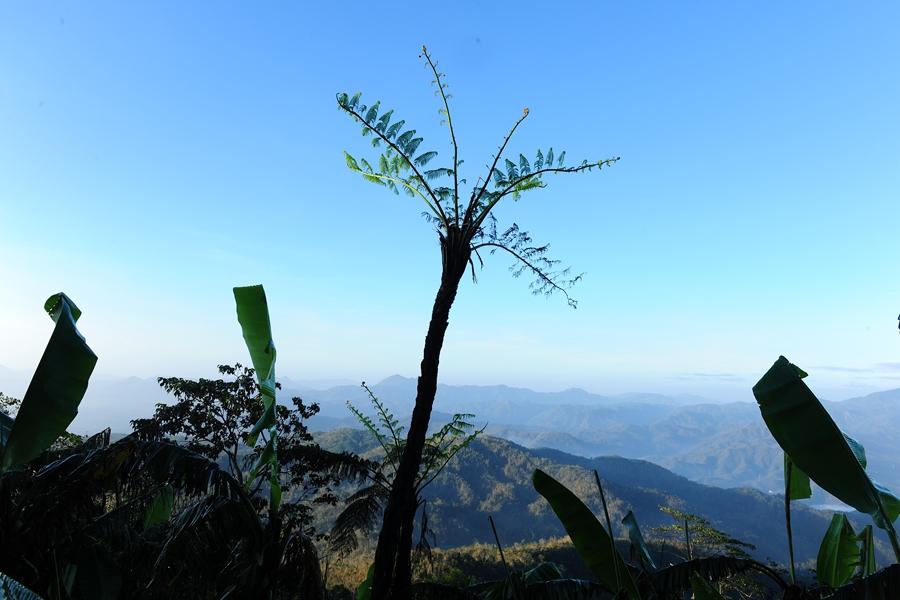 恐龙同时期的植物-国家一级保护植物黑桫椤